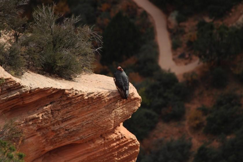 California Condor in Zion NP
