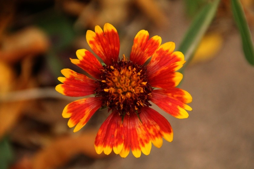 Zion NP Indian Blanket-Firewheel